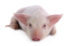 Pig. Lies on a white background. studio Royalty Free Stock Photo