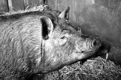 Pig Like Mammal, Black And White, Pig, Fauna Royalty Free Stock Photography