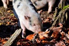 Pig Like Mammal, Fauna, Mammal, Pig Royalty Free Stock Photo