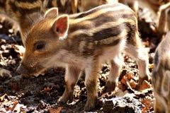 Pig Like Mammal, Fauna, Pig, Mammal Stock Image