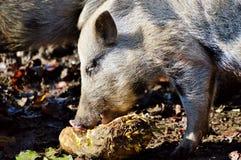 Pig Like Mammal, Mammal, Fauna, Pig Stock Images