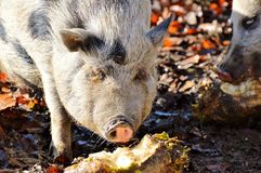 Pig Like Mammal, Mammal, Pig, Fauna Stock Photo