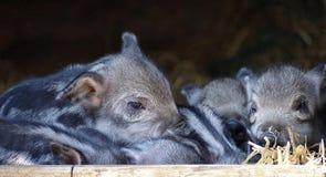 Pig Like Mammal, Mammal, Pig, Fauna Royalty Free Stock Photos