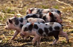 Pig Like Mammal, Pig, Domestic Pig, Fauna