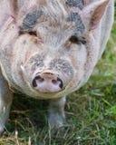 Pig Like Mammal, Pig, Fauna, Domestic Pig Stock Photo