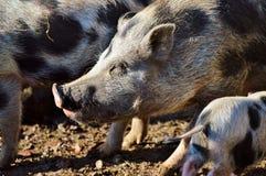 Pig Like Mammal, Pig, Mammal, Fauna Stock Images