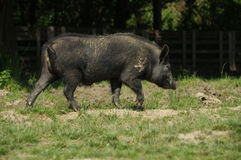 Pig little black 6 Royalty Free Stock Images