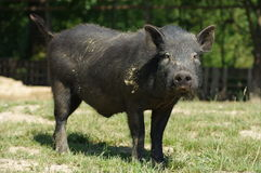 Pig little black 5 Royalty Free Stock Images