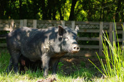 Pig little black 3 Royalty Free Stock Images
