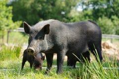 Pig little black 4 Stock Image