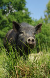 Pig little black 2 Royalty Free Stock Photography