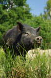 Pig little black Royalty Free Stock Images