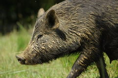 Pig little black portrait Royalty Free Stock Photography