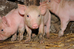 Pig. Little pink pigs on hay Royalty Free Stock Photography