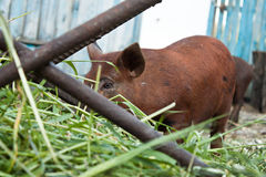 Pig. Little pig in the yard Royalty Free Stock Photos