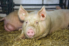 Pig at livestock exhibition Royalty Free Stock Image