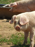 Pig looking royalty free stock photography