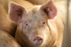 Pig looking at camera Stock Photos