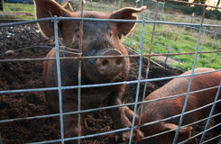 Pig looking through fence. Brown-haired pig looking through fence Stock Images