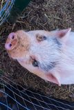 Pig Looking Up royalty free stock images