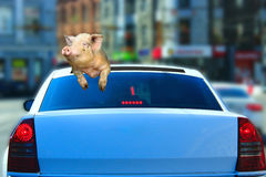 Pig looks out from car hatch Stock Image
