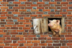 Pig looks out from window of shed on the brick wall Royalty Free Stock Image