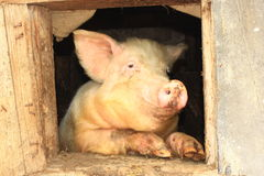 Pig looks out from window of shed Royalty Free Stock Photography