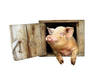 Pig looks out from window of shed isolated Stock Images
