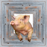 Pig looks out from wooden frame Stock Image