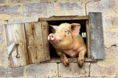 Pig looks from window of shed Royalty Free Stock Photos