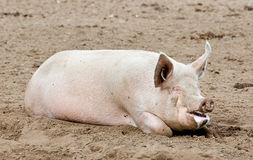 Pig Lying Down Stock Photos