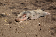 Pig lying on the ground Stock Images