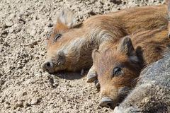Pig lying on the ground Royalty Free Stock Images