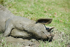 Pig lying in mud Royalty Free Stock Photography