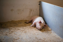Pig lying in a stable Stock Photo