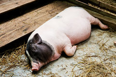 Pig lying Stock Images