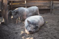 Big pig of the marble breed on the farm Royalty Free Stock Images