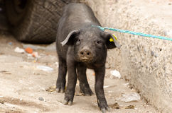 Pig. On a market in Ecuador stock photography