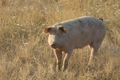 Pig in the meadow Royalty Free Stock Photos