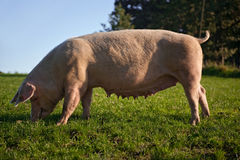 Pig On The Meadow Royalty Free Stock Photo