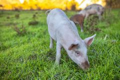 Pig on the meadow. Pig grazing on the green meadow royalty free stock photos
