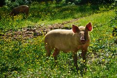 Pig on a meadow Royalty Free Stock Image