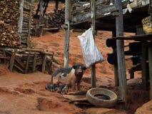 Pig med Piglets Fotografering för Bildbyråer