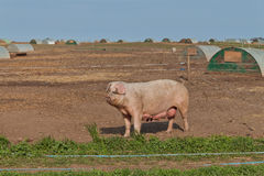 Pig. A Mother Pig in a Pig Farm Royalty Free Stock Images