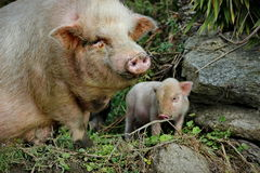 Pig Mother& x27;s Love. Young piggy with his mother at north Vietnam Royalty Free Stock Images