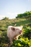Pig in the mountains. Pig grazing high in the mountains royalty free stock photo