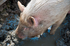 Pig in mud Royalty Free Stock Images
