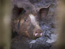 Pig in mud Royalty Free Stock Photos