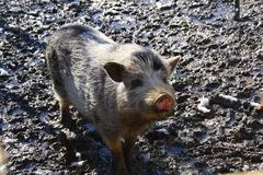 Pig in the mud Stock Photography