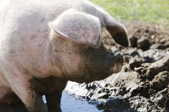 Pig In Mud Royalty Free Stock Photography